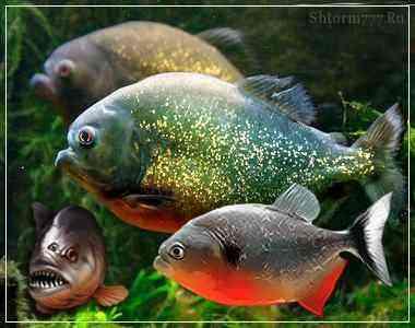 Рыбы пираньи