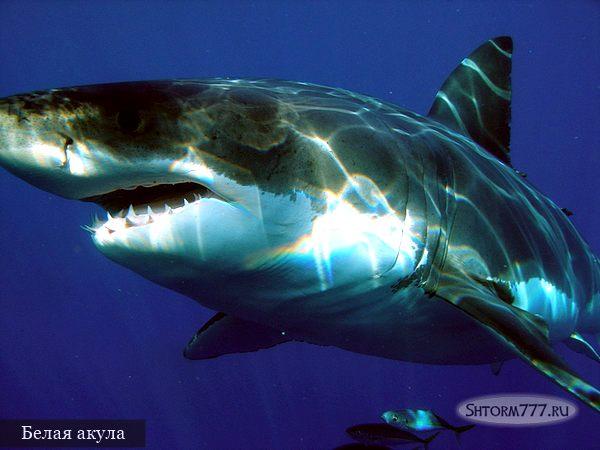 Самые опасные акулы. Топ 3 (1)
