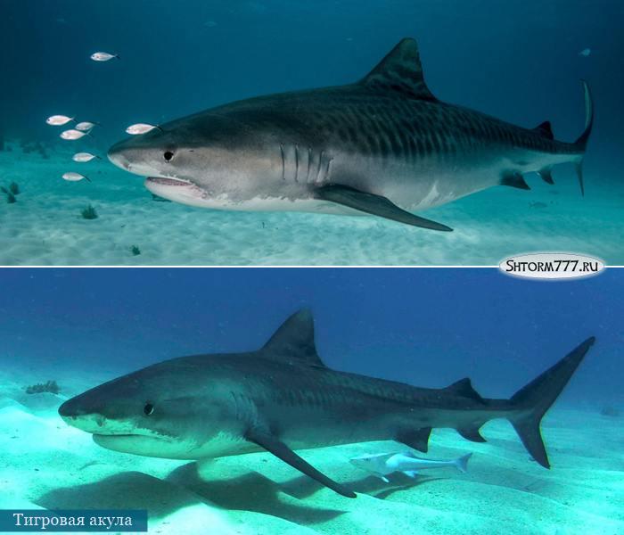 Самые опасные акулы. Топ 3 (2)