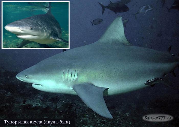 Самые опасные акулы. Топ 3 (3)