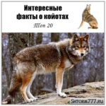 Интересные факты о койотах