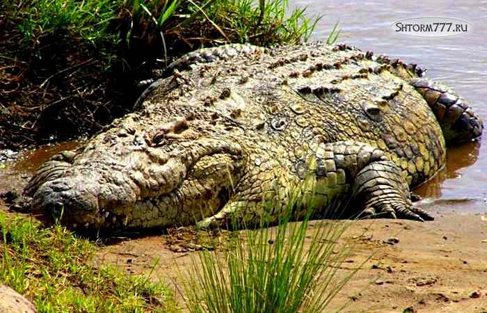 Факты о крокодилах-1