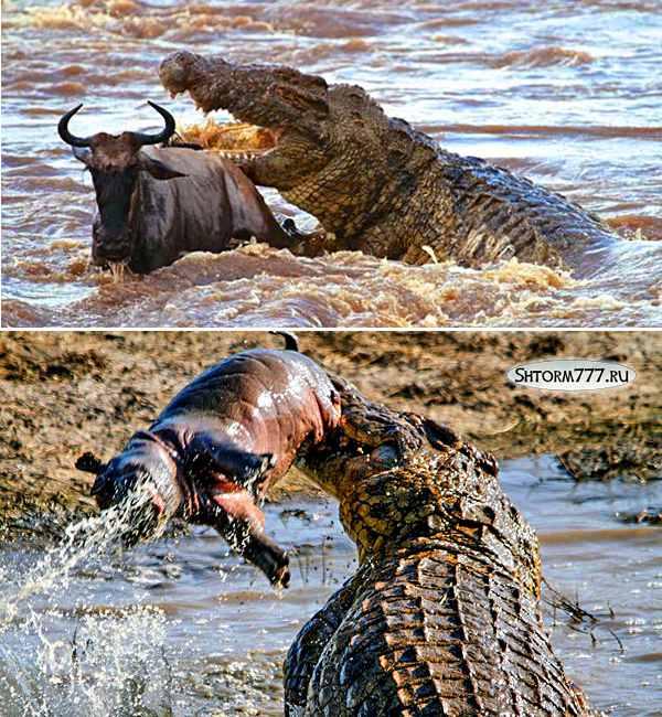 Факты о крокодилах-3