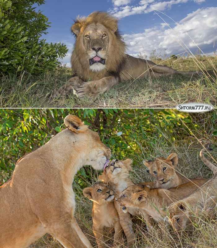 Факты о львах-2
