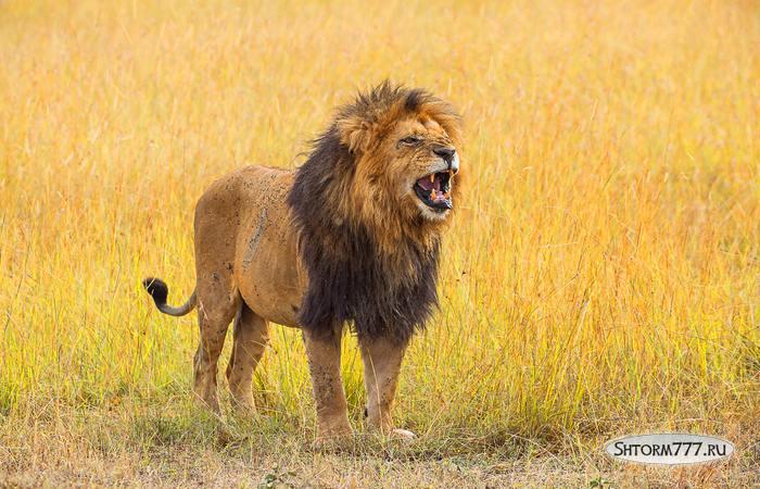 Факты о львах-3