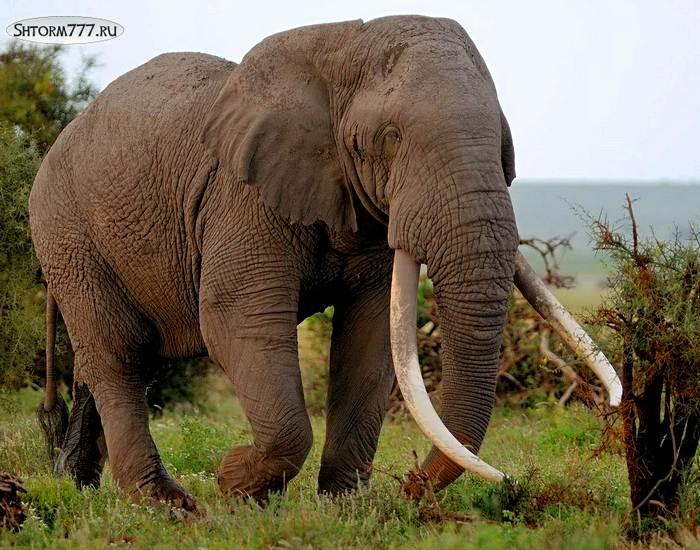 Факты о слонах-1