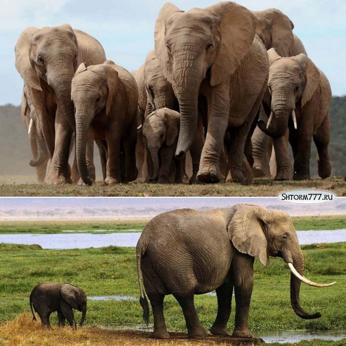 Факты о слонах-2