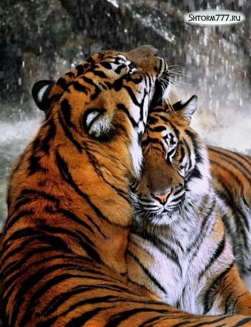 Факты о тиграх-1