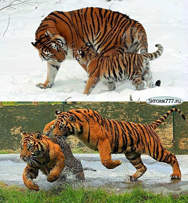 Факты о тиграх-2