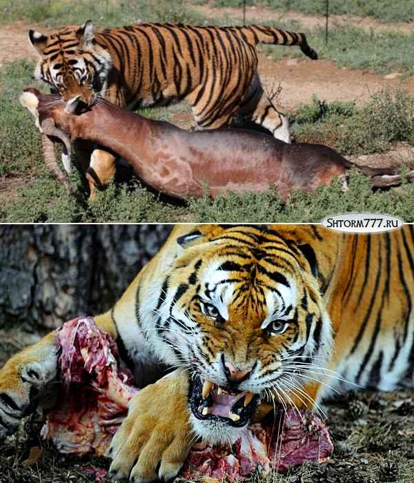 Факты о тиграх-3