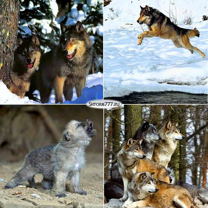 Факты о волках-1