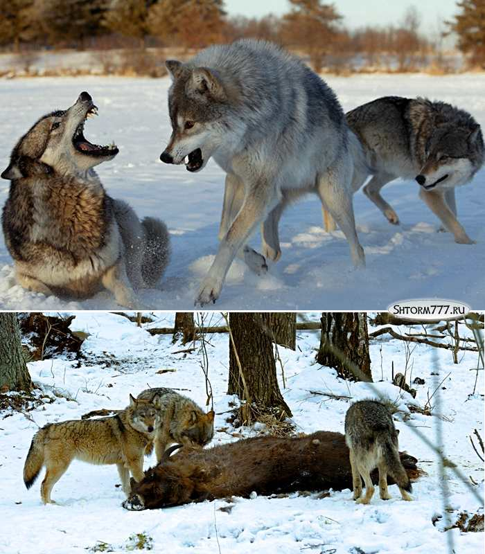Факты о волках-2