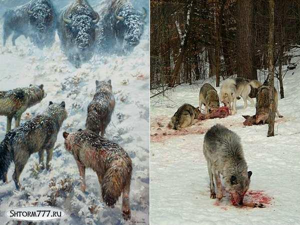 Факты о волках-3
