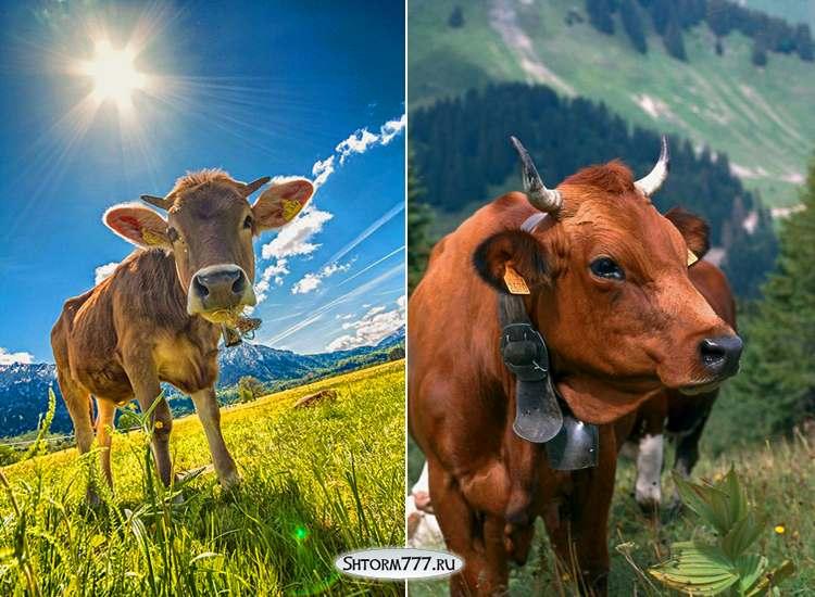 Факты о коровах-1