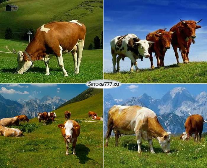 Факты о коровах-3