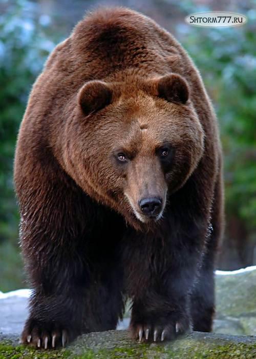 Факты о медведях-1
