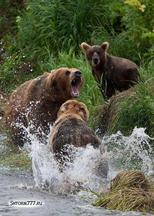 Факты о медведях-2