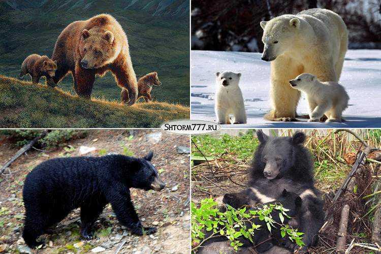 Факты о медведях-3